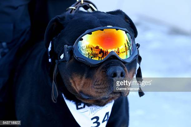 A dog looks on when waiting for the chair lift to the start line during the DB Export Dog Derby at the Remarkables ski field on June 30 2016 in...