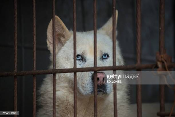 A dog looks out from a cage at a dog farm during a media visit organised by the Humane Society International in Wonju south East of Seoul on April 27...