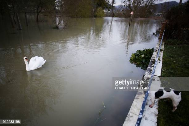 A dog looks out from a raised wall towards a swan swimming past on a flooded bank of the River Seine in the French northwestern city of Elbeuf on...