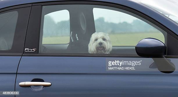 A dog looks out of the window of a car in Coswig eastern Germany on August 13 2015 AFP PHOTO / DPA / MATTHIAS HIEKEL GERMANY OUT