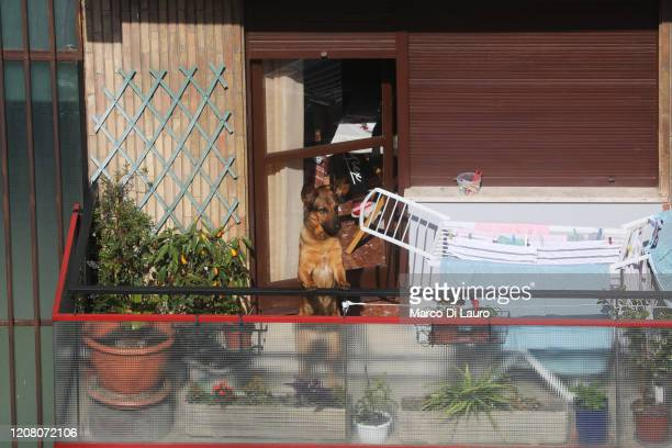 A dog looks out onto a balcony during lockdown on March 23 2020 in Rome Italy As Italy extends its nationwide lockdown to control the spread of...