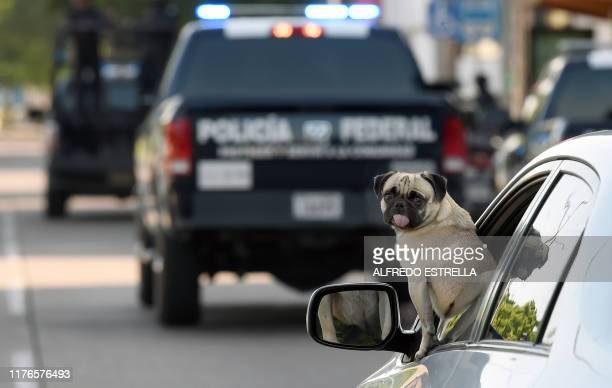 A dog looks out tyhe window of a car behind police cars in the surroundings of the government palace in Culiacan Sinaloa state Mexico on October 18...