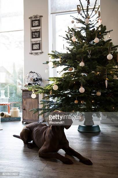 Dog lying at Christmas tree