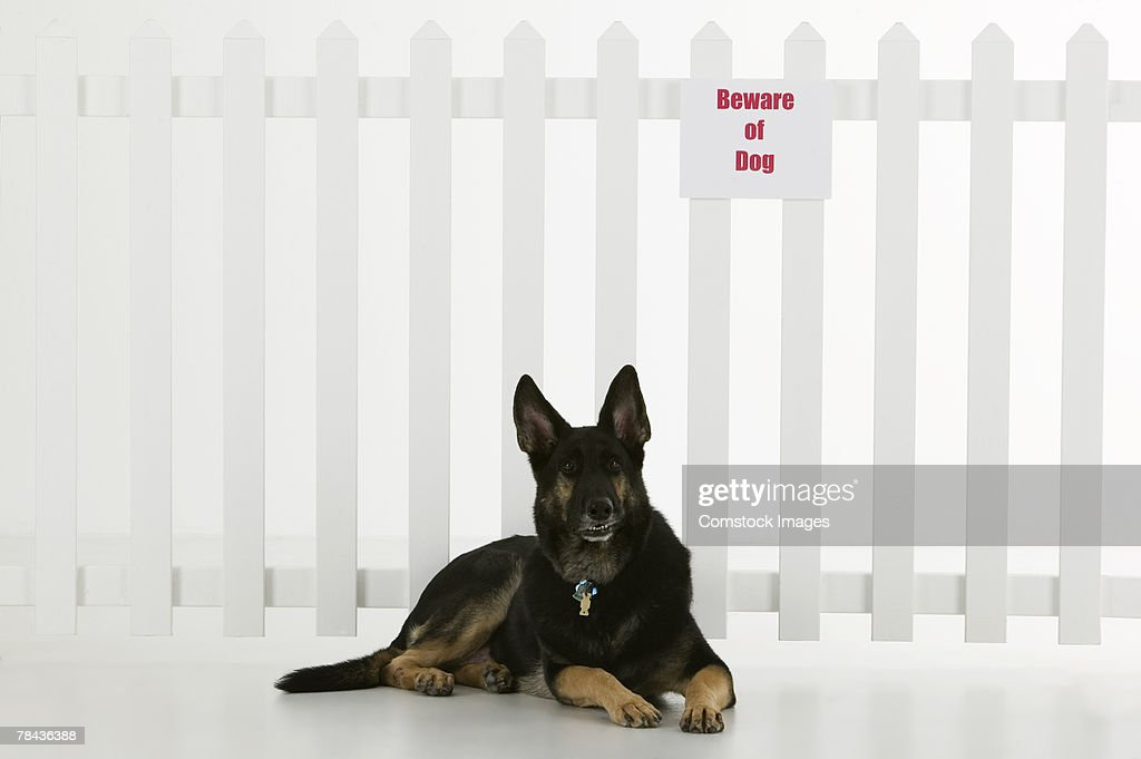 Dog lying down by fence with beware of dog sign : Stock Photo