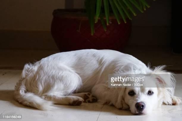 dog lying down - nadar photos et images de collection