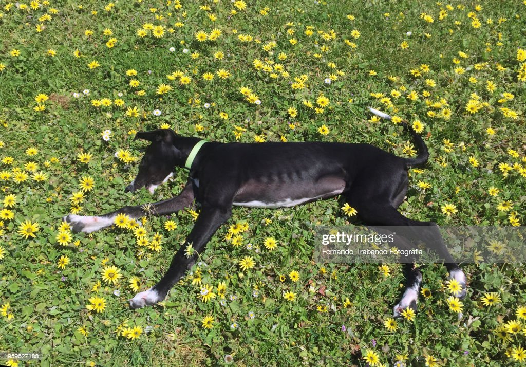 Dog lying in a field of yellow flowers : Stock-Foto