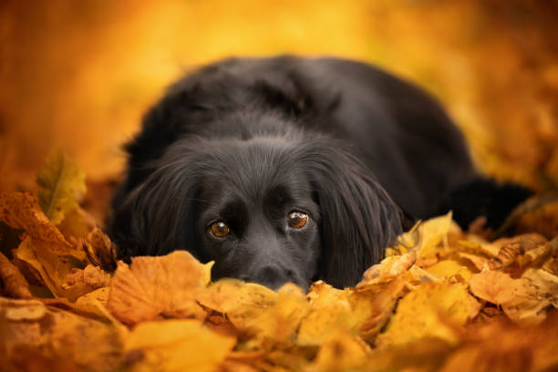 A dog lying in autumn leaves