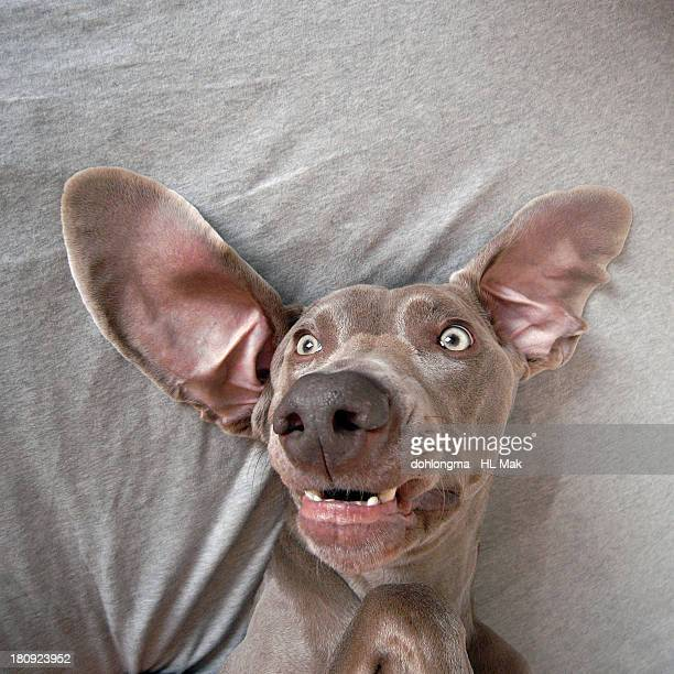 dog lying in bed, big ears - animal ear stock photos and pictures