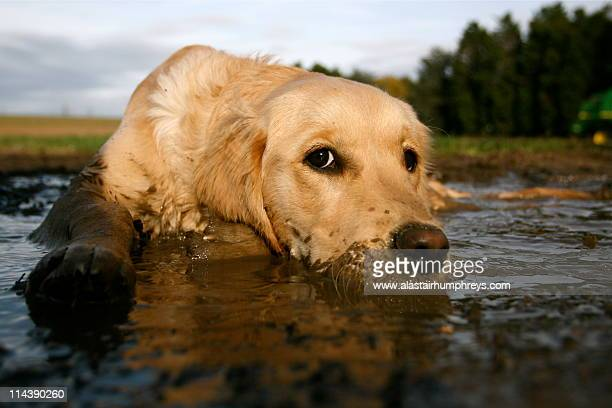 dog lying in puddle - mud stock pictures, royalty-free photos & images