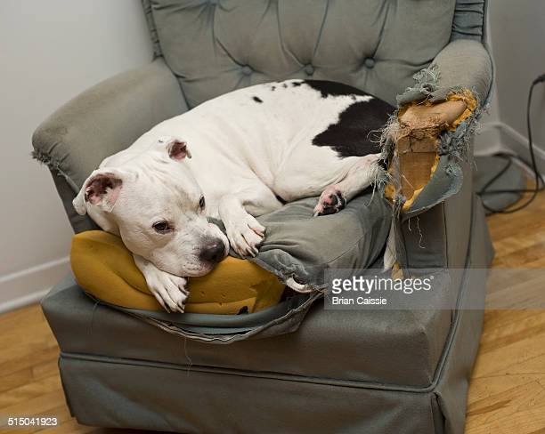 dog lying on a damaged chair - american bulldog stock photos and pictures