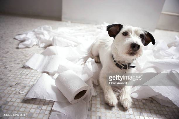dog lying on bathroom floor amongst shredded lavatory paper - mischief stock pictures, royalty-free photos & images