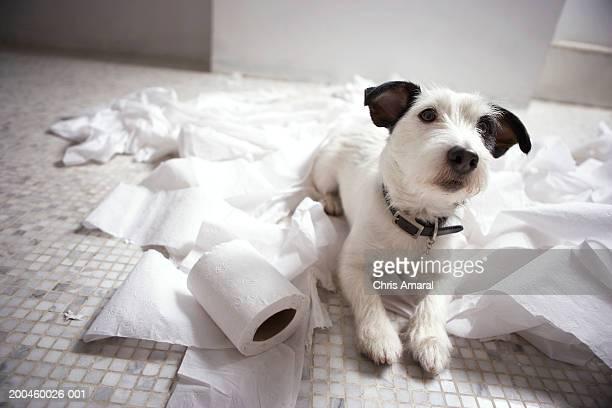 Dog lying on bathroom floor amongst shredded lavatory paper