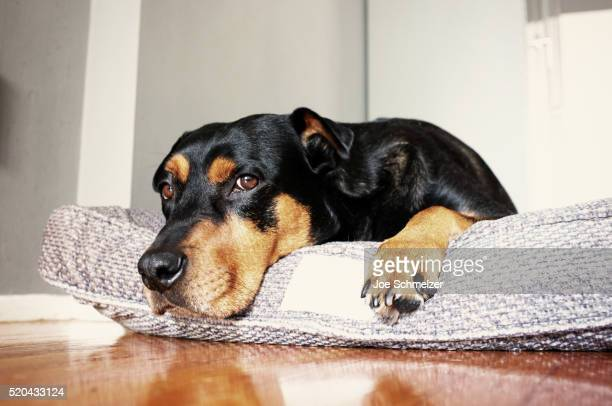 dog lying on dog bed - pet bed stock pictures, royalty-free photos & images