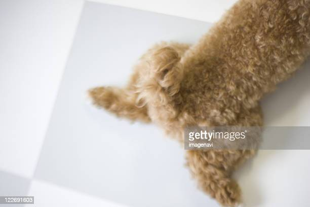 dog lying on floor - miniature poodle stock photos and pictures