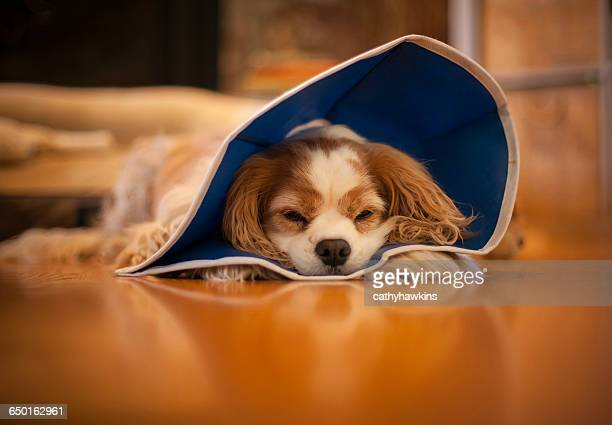 dog lying on floor wearing pet cone - protective collar stock pictures, royalty-free photos & images