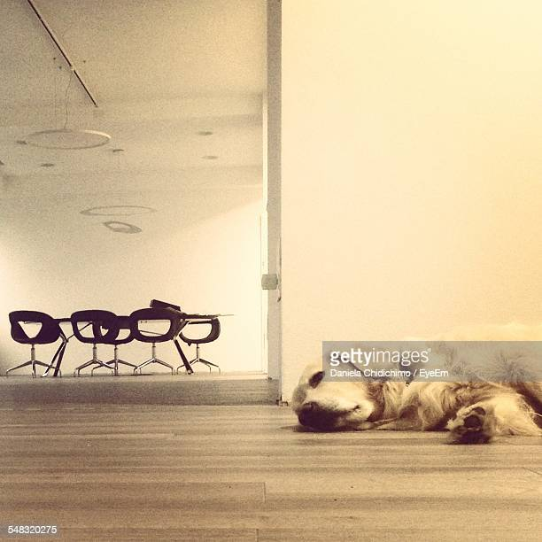 Dog Lying On Floor With Office Chairs In Background