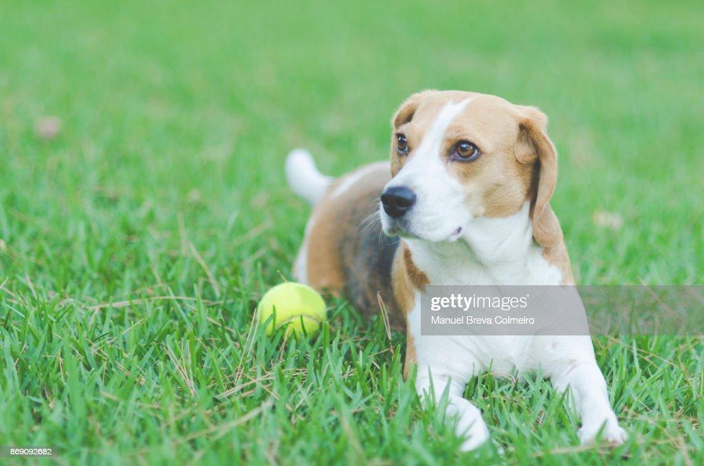 Dog lying on grass : ストックフォト