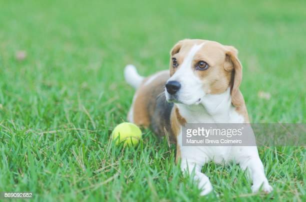 dog lying on grass - training grounds imagens e fotografias de stock