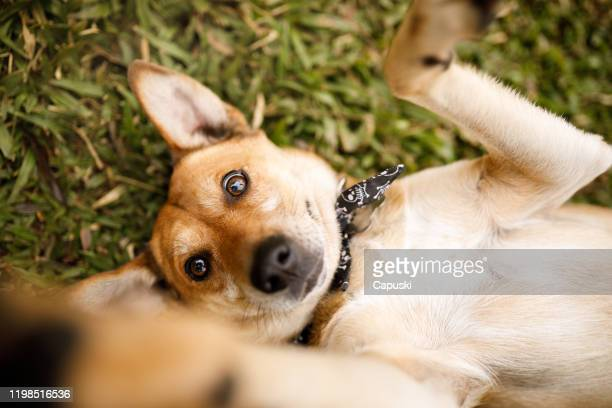 dog lying on grass playing with it's owner - mixed breed dog stock pictures, royalty-free photos & images