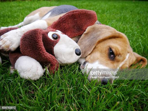 dog lying on grass with soft toy - lazy poland stock photos and pictures