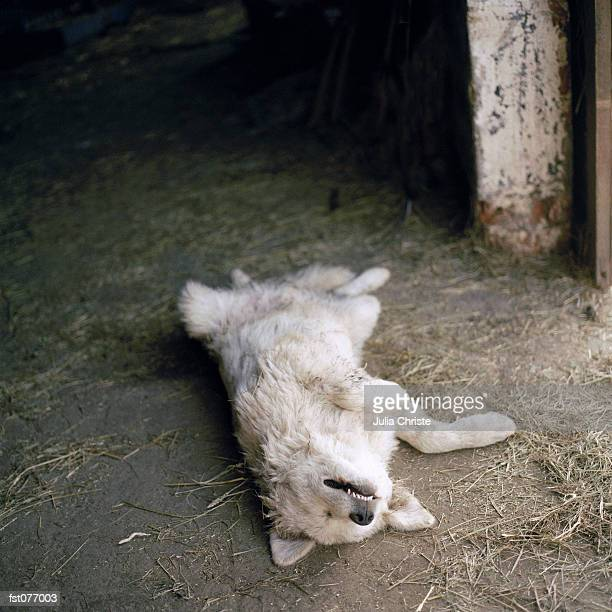 A dog lying on its back in a barn