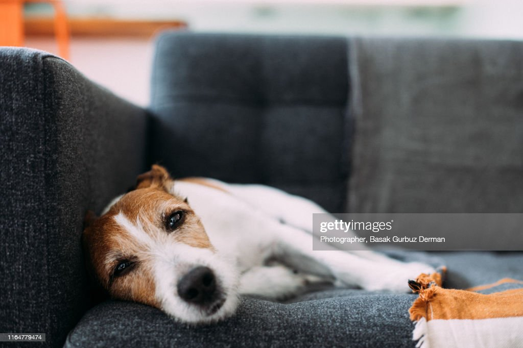 Dog lying on sofa at home, looking ill and sad : Stock Photo