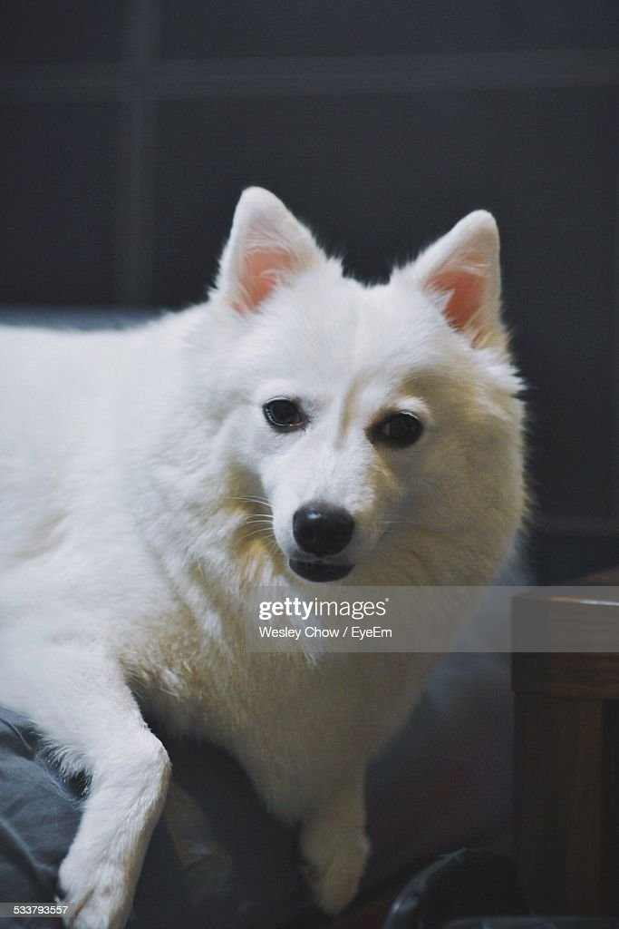 Dog Lying On Sofa : Foto stock
