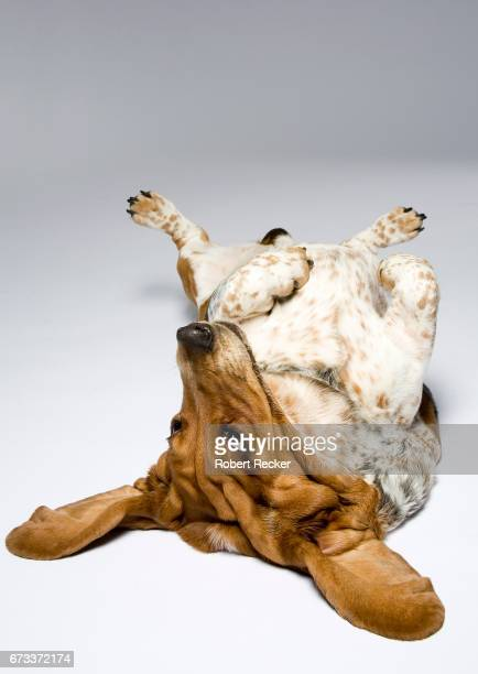 dog lying on the back - ganzkörperansicht stock pictures, royalty-free photos & images