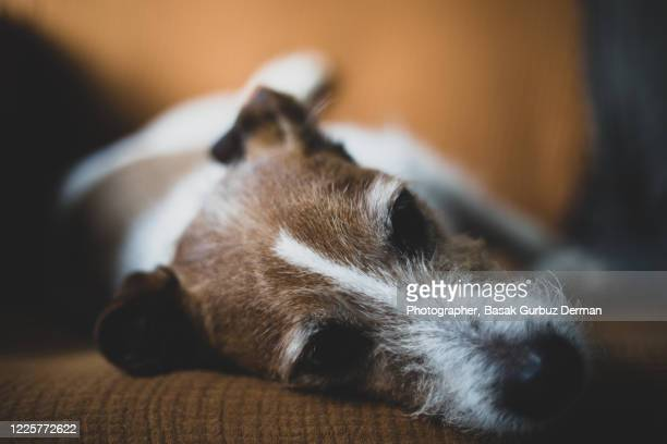 dog lying on the couch - illness stock pictures, royalty-free photos & images