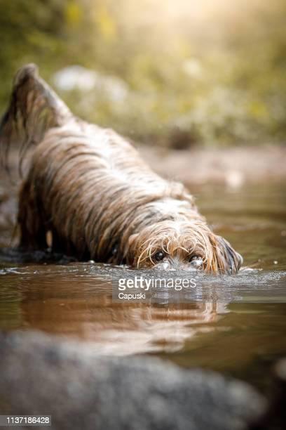 hund gör bubblor i vatten med nos partiet - lhasa apso bildbanksfoton och bilder