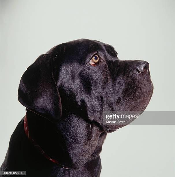 Dog, Mastiff, (Close-up)