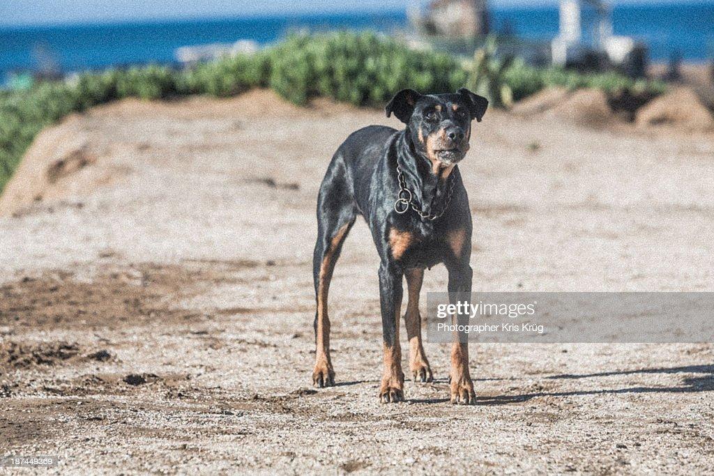 Dog Mexican Doberman Watchdog Guards
