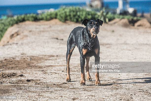 Dog Mexican Doberman Watchdog Guards The Beach