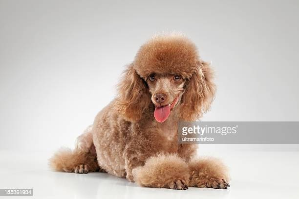 dog - miniature poodle - miniature poodle stock photos and pictures