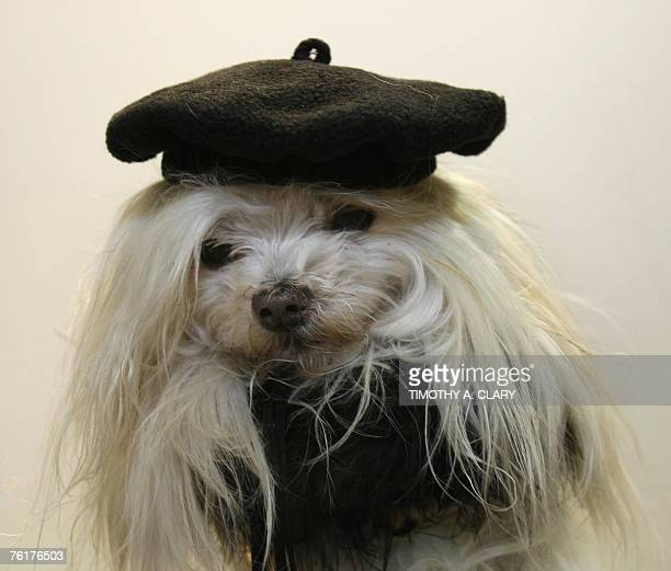 A dog models a French beret by 'Barking Baby' during the 2007 Pet Fashion Week NY dog runway fashion show 19 August 2007 Pet Fashion Week was...