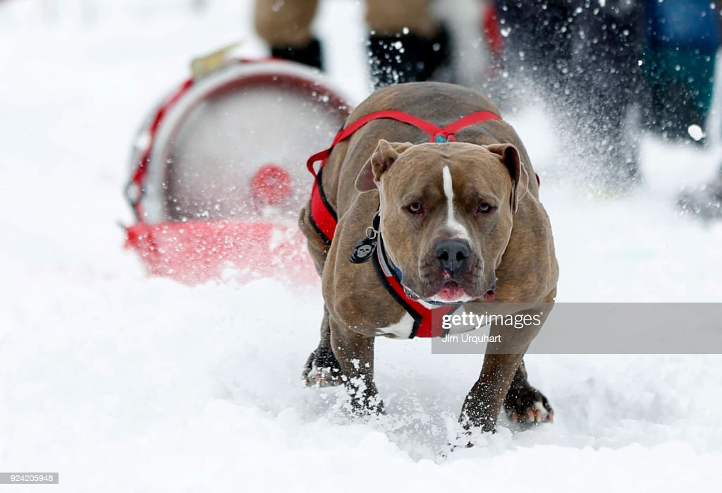 Dogs Compete In Monster Dog Sled Dog Pull In Montana