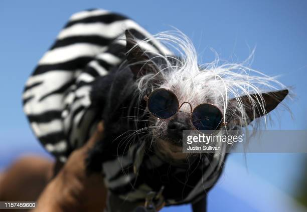 A dog named Rascal looks on before the start of the World's Ugliest Dog contest at the MarinSonoma County Fair on June 21 2019 in Petaluma California...