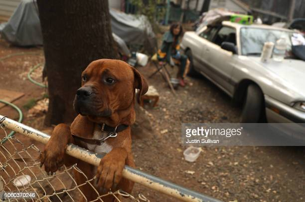 A dog named Rockey stands on the fence in front of the home of Jimmy Clements that survived the Camp Fire on November 11 2018 in Paradise California...
