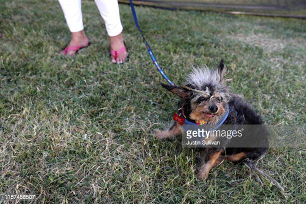 A dog named Scamp the Tramp looks on before the start of the World's Ugliest Dog contest at the MarinSonoma County Fair on June 21 2019 in Petaluma...