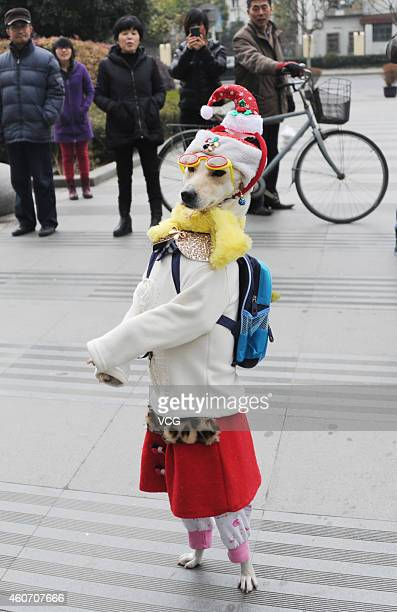 A dog named 'Xiaoniu' wearing clothes walks at Pudong Zhengdajiayuan housing estate on December 19 2014 in Shanghai China 62 year old Mr Fang picked...