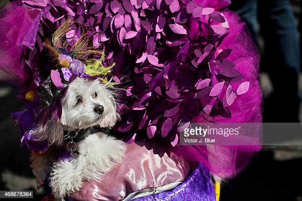 A dog named ZZ is pushed along in a stroller along Fifth Avenue during the annual Easter Parade April 5 2015 in New York City The parade attracts...