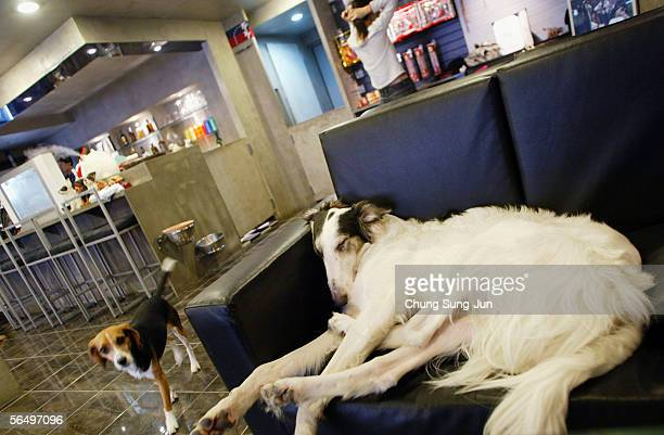 Dog naps at a dog-friendly cafe on December 29, 2005 in Seoul, South Korea. The year of 2006 is the year of the dog according to the Chinese lunar...