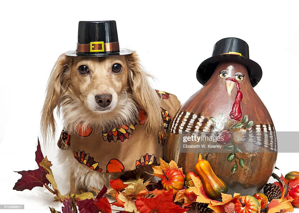 Dog next to painted turkey gourd : Stock Photo