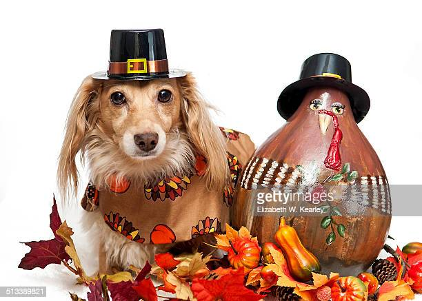 dog next to painted turkey gourd - thanksgiving dog stock photos and pictures