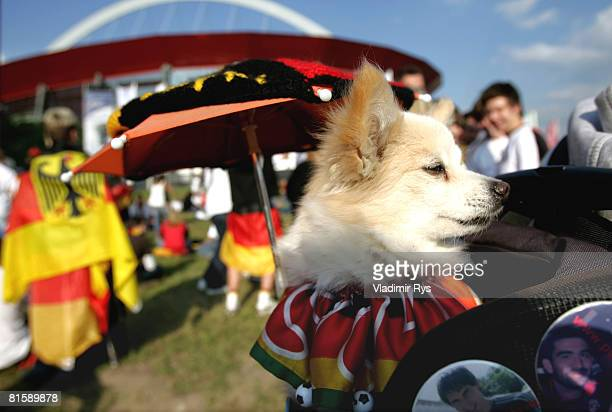A dog of a Germany football fan dressed in German colours is seen during the public viewing of the UEFA EURO 2008 Group B match between Austria and...