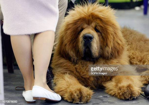 Dog of the Tibetan Mastiff breed is seen during the Crystal Cup of Ukraine 2018 Dog show