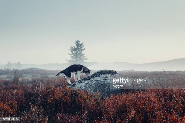 dog on a big stone on a morning fog in the vicinity of the autumn mountain pass ulaganskiy. altai, russia - シベリアンハスキー ストックフォトと画像