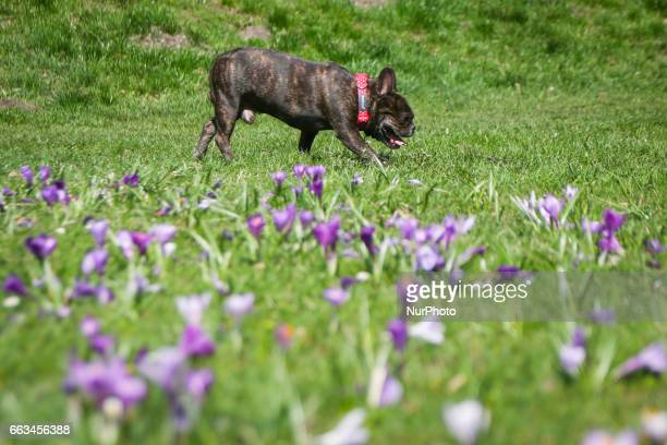 A dog on a field of crocus flowers blooming in the springtime by the Wawel Castel in Krakow Poland on 1 April 2017