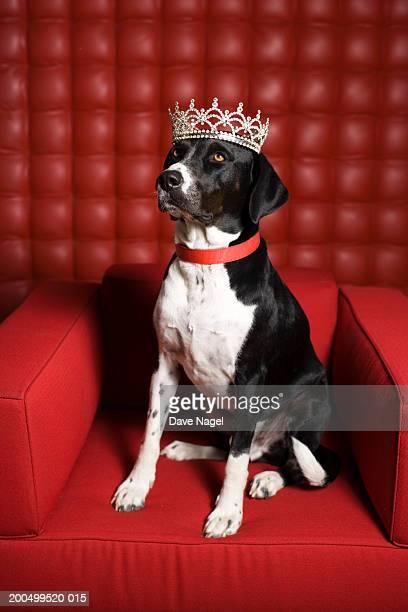 Dog on armchair, wearing tiarra