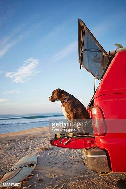 Dog on back of car on beach